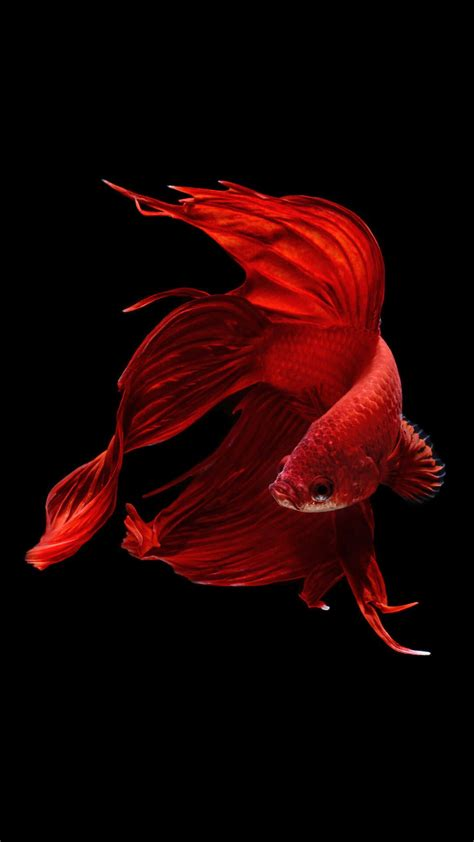 Iphone 6 Animal Wallpaper - betta fish iphone 6 and iphone 6s wallpaper hd animal