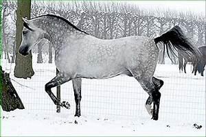 dapple grey arabian | kiwibabi | Flickr
