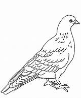Pigeon Coloring Pages Designlooter Dove Bird 75kb 726px sketch template
