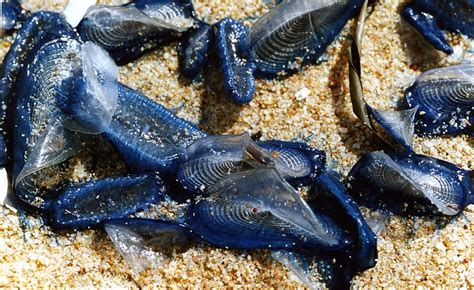 Thousands Of These Bizarre Blue Animals Wash Up Along
