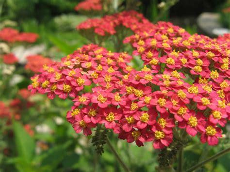 Sommerblumen Mehrjährig Winterhart by Achillea Millefolium Yarrow