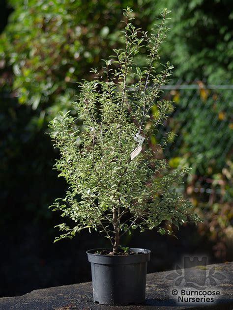 pittosporum tenuifolium silver magic  burncoose