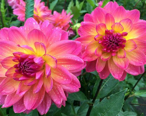Dahlia Mystic Pink Yellow Garden Plants Ultra Hd