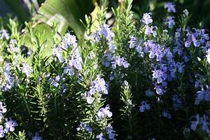 Rosemary Is Beautiful And Has Many Medicinal Uses By Penny