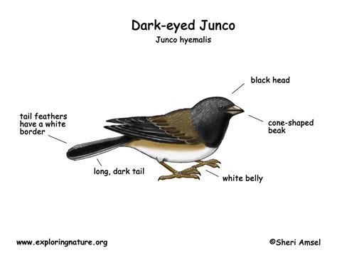 Junco (Dark-eyed)