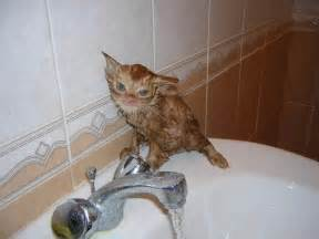 bathing a cat angry cats