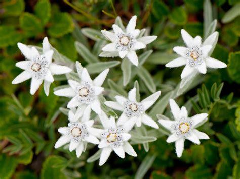 edelweiss pflegen giessen duengen schneiden und mehr