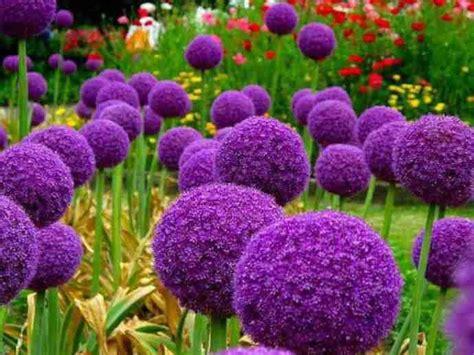 allium colors purple allium for the home pinterest