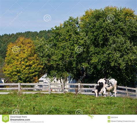 dairy farm with holstein cows in pasture and three silos holstein dairy cow in pasture stock photo image 22973544
