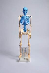 Maske1 Human Skeleton Model With Fold-out Guide