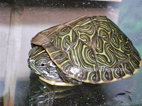 do turtles shed their shells science magazine science fair project turtles by