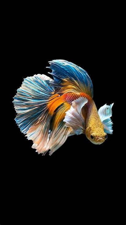 Fish Betta Wallpapers 4k Iphone