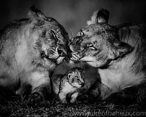 Tableau Lion Noir Et Blanc : terre des lions les incroyables clich s d 39 animaux sauvages d 39 afrique de laurent baheux ~ Dallasstarsshop.com Idées de Décoration