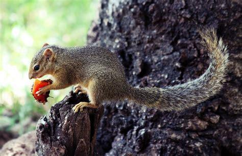 squirrel wikiwand