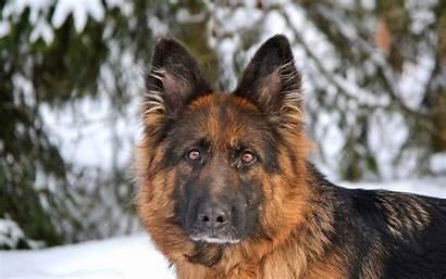 German Shepherd Wallpapers Background Dogs