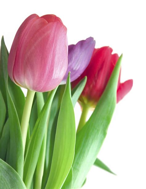 tulip pictures tulip flower pictures the tulip flowers flowers