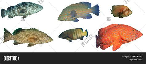 grouper fish isolated