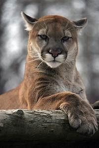 Mountain lion | Animals | Pinterest