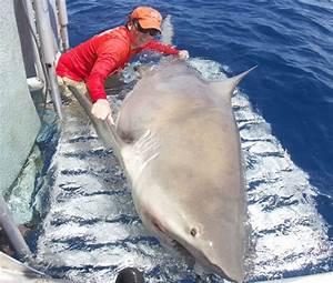 Could a Bull shark sink a shrimp boat? - Tracking Sharks
