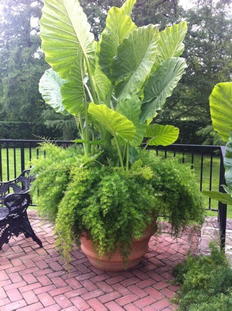 ear pot 25 best elephant plant ideas on pinterest elephant ear plant alocasia plant and big indoor