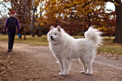 purebred star samoyed the smart living network