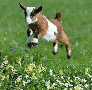 17 Best images about Sheep, Goats on Pinterest | Baby ...