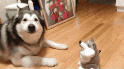 Husky Malmute Totally Barkpost Re Malamute Nope
