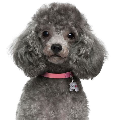Poodle Grey Dog Tag - AllDogTags