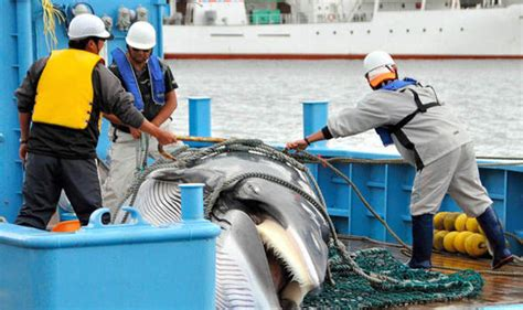 Japanese Resume Whaling by Japan To Resume Whaling In Antarctic Despite Court Ruling Nature News Express Co Uk
