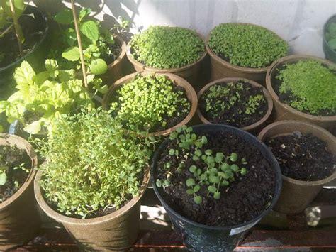 tanaman dapur hidup cepat panen bibit