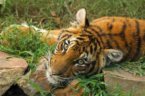 tigers arrive  woodland park zoo seattlepicom