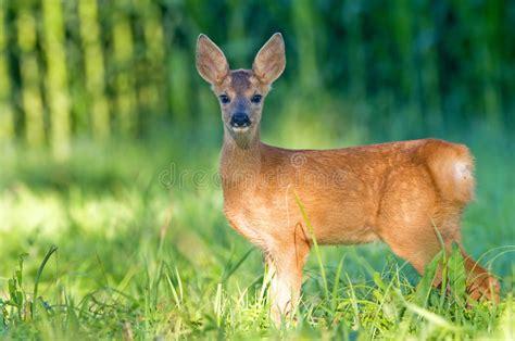 Juvenile Roe Deer  Bambi Stock Image Image Of Grass