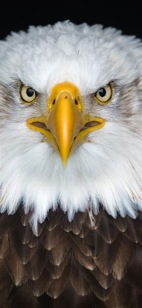 Eagles Wallpaper Iphone Xr by Wallpaper Bald Eagle Front View Beak 3840x2160 Uhd