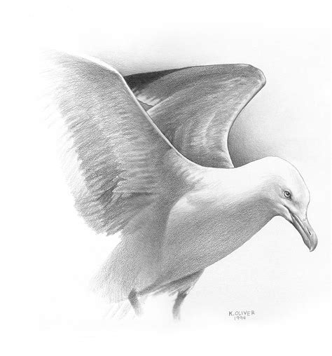 Seagull Drawings Sketches Wwwpixsharkcom Images