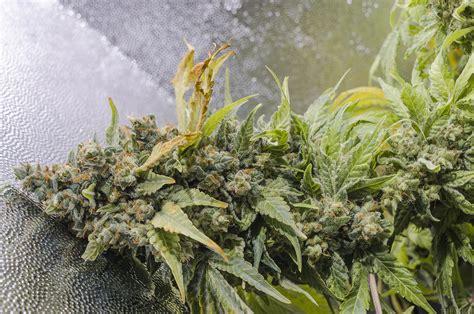 Purple Haze 1 Positronics Cannabis Strain Info