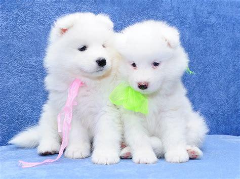 可爱的白色小狗写真 - 素材公社 tooopen.com