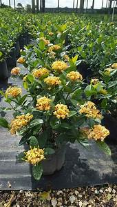 17 Best images about Ixora on Pinterest | Gardens, Maui ...