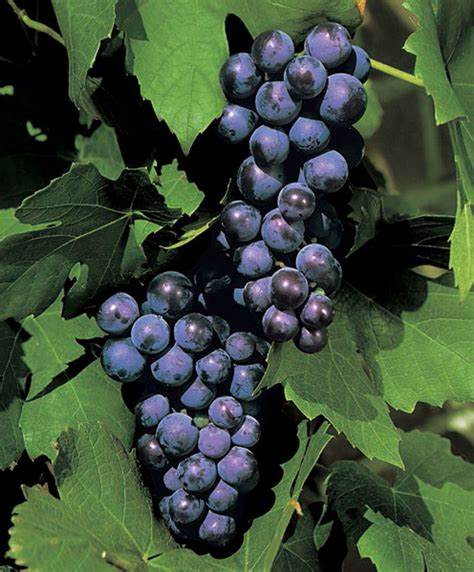 what are grape vines buy grape vine bakker com