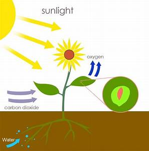 Photosynthesis  Definition  Reaction  Equation And