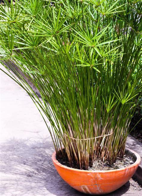Le Für Draußen papiro pianta da appartamento donnad