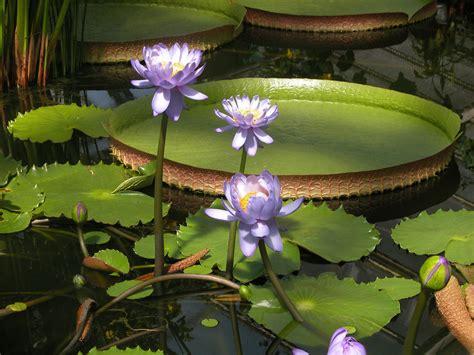 Botanischer Garten Berlin Seerose by Die Riesen Seerose Bgbm