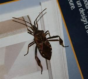 Insecte De Maison : identification insecte ~ Melissatoandfro.com Idées de Décoration