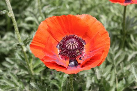 poppy flowers pictures oriental poppy flower picture flower pictures 1089