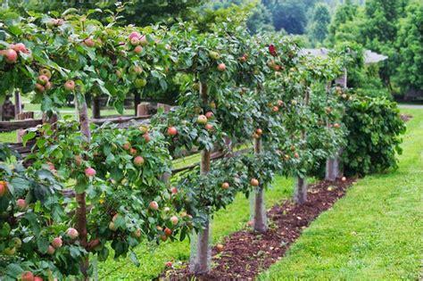 espalier apple trees gravenstein apple espalier gardening outdoors pinterest