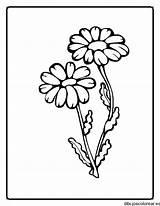Colorir Planta Margaritas Desenhos Plantas Colorear Dibujos Desenho Flores Dibujo Flowers Dibujar Partes Dos Uma Medianas Az Imprimir Applique Criancas sketch template