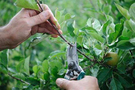 Pruning Fruit Trees In Summer Gardenersworldcom