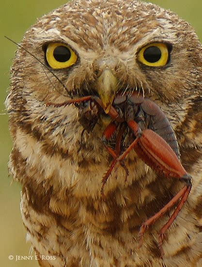 burrowing owl eats camel cricket what s that bug