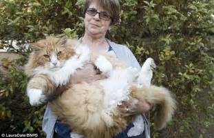 forest cat florida britain s fattest cat ulric has a puppy whip him into