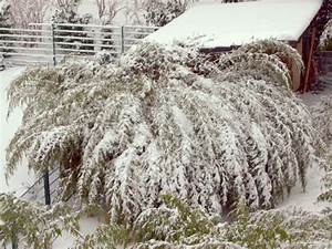 Bambus Im Winter : winterschutz ist bambus winterhart ~ Frokenaadalensverden.com Haus und Dekorationen