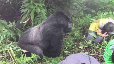 tense encounter   silverback mountain gorilla